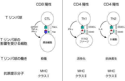 球 働き リンパ リンパ球の働きと種類、悪性リンパ腫について|おしえて 悪性リンパ腫のコト【中外製薬】