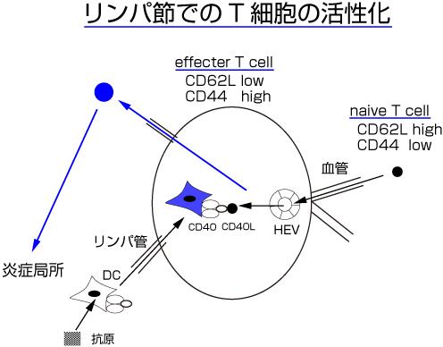 簡単免疫学講座 11.Tリンパ球-2 ...